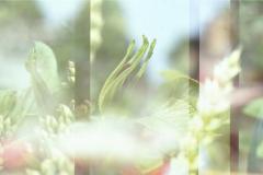 2-analog-mehrfachbelichtung-diapositiv-hamburg-altona-pflanzen-blumen